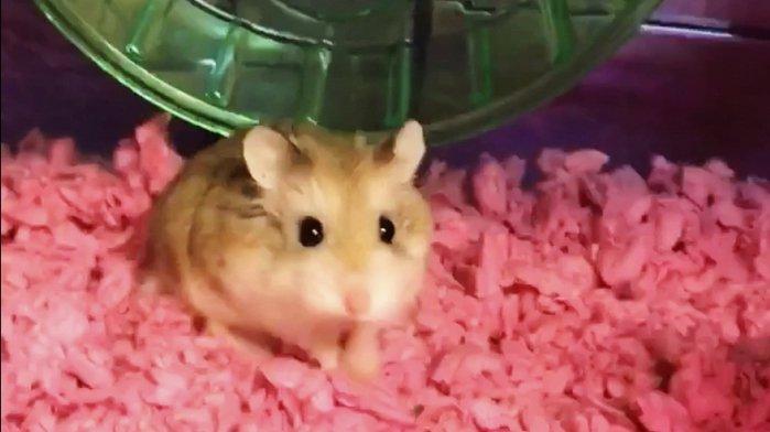 Son hamster refusé à bord, une Américaine le jette dans les toilettes