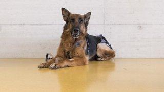 Après son périple de 400 km, la chienne portée disparue en Allemagne puis retrouvée en Suisse est rentrée chez elle