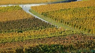 Vignoble: il faudra apprécier  une récolte rare mais de qualité