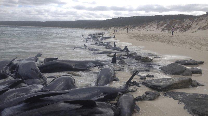 Australie: 135 dauphins-pilotes meurent échoués dans la baie d'Hamelin