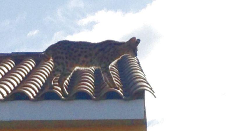 """France: elle alerte la police pour un """"léopard"""" sur son toit, elle n'aurait peut-être pas dû"""