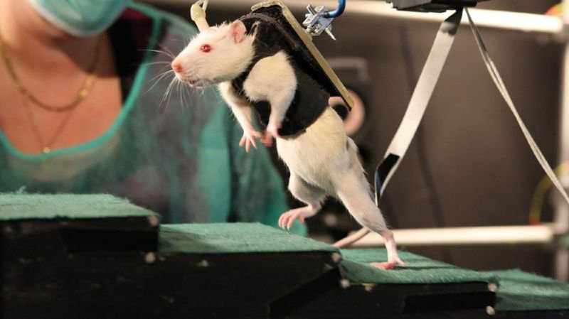 Rats paraplégiques à l'EPFL: zone cérébrale clé identifiée