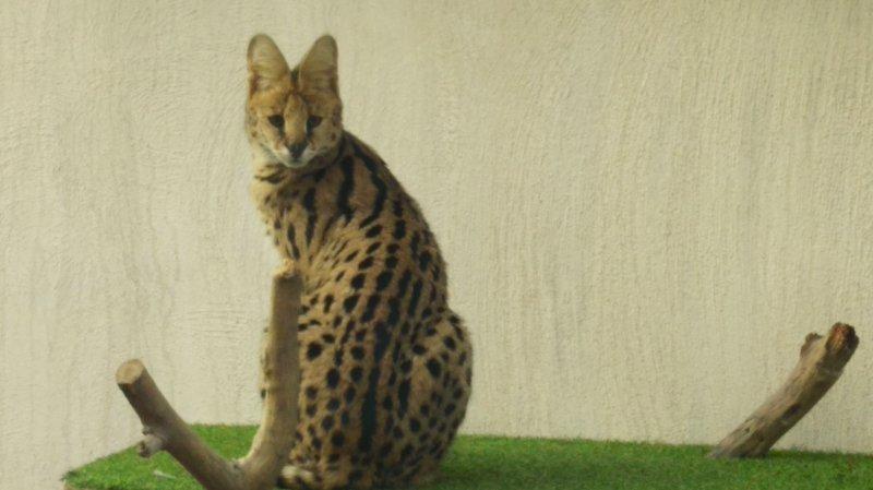 """Montpellier: le """"chat léopard"""" était en fait... un serval"""