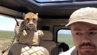 En plein safari, un guépard s'introduit dans leur véhicule