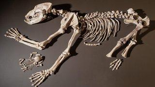 La relation ambiguë entre l'ours et l'homme, en exergue au Laténium