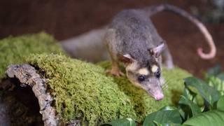 Naissance de bébés opossums à Cernier
