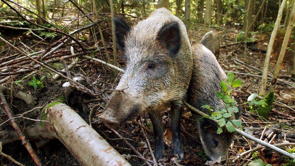 Les sangliers seront dans la ligne de mire des chasseurs dès le mois prochain.