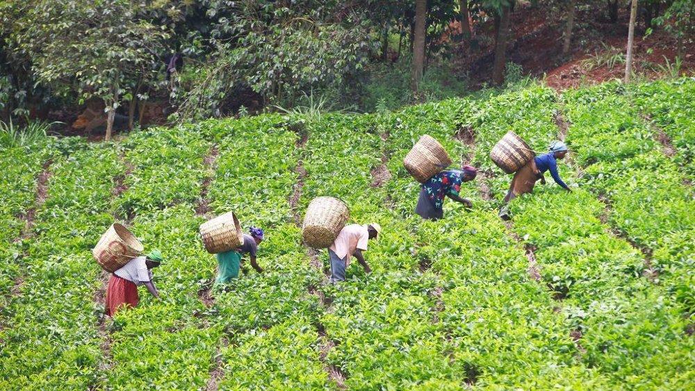 La filière thé représente un secteur clé pour l'économie du Kenya, où s'étirent à perte de vue des collines couvertes de plantations.