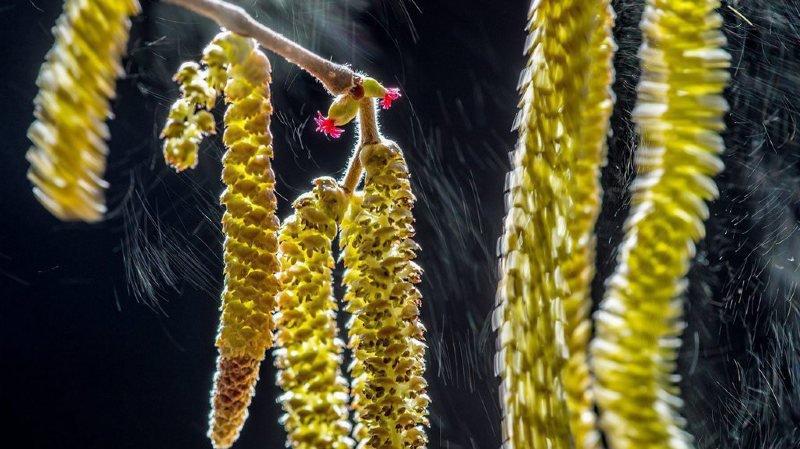 Ce jeudi sera à nouveau pénible dans plusieurs régions de Suisse, avec toujours des concentrations élevées à très élevés de pollen de bouleau et de frêne.