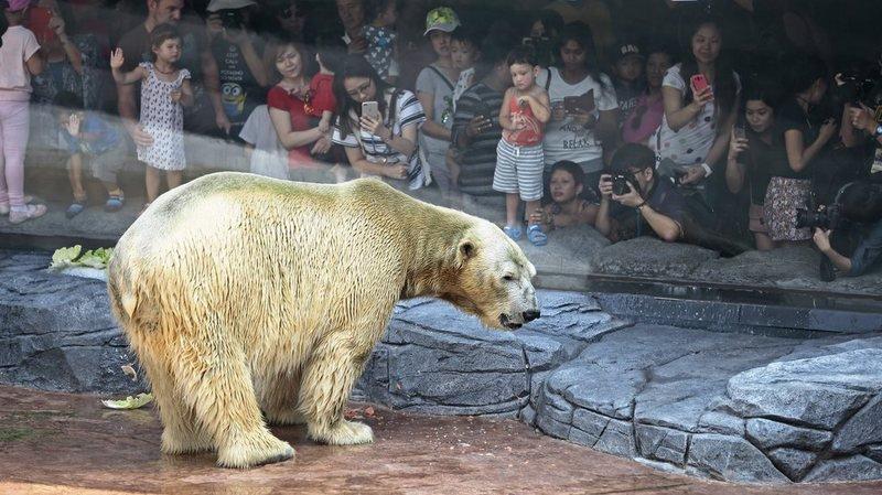 Singapour: décès d'Inuka, premier ours polaire né sous les tropiques