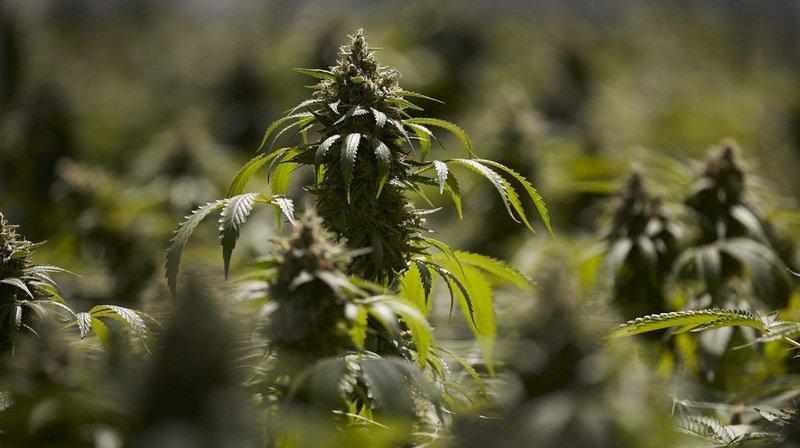 La culture et l'exportation de cannabis médical devraient être permises en Suisse