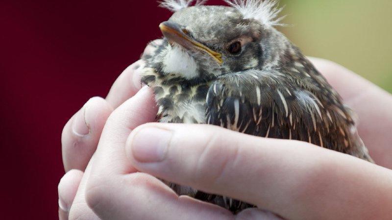 Si un oisillon tombe du nid, ne le déplacez pas, ses parents continuent souvent de s'en occuper