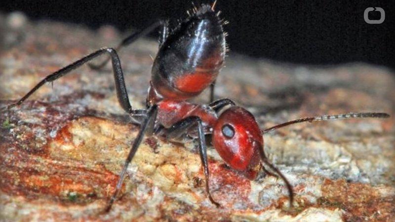 La Colobopsis explodens a développé une étonnante arme contre ses adversaires.
