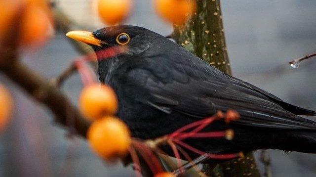 Les oiseaux désertent les jardins suisses