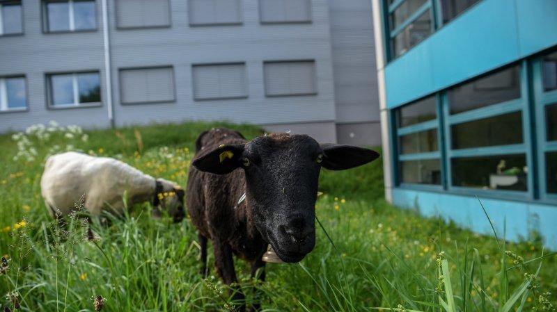 Un berger de Montmollin a mis à disposition neuf moutons, qui vont brouter l'herbe sur une parcelle de 2800 mètres carrés.
