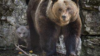 Vaud: Nuage, un des oursons de Juraparc, a été tué par sa mère