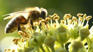 Les abeilles fêtées au Jardin botanique de Neuchâtel et à Evologia