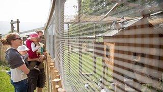 Cochons, cailles et pigeons ont repris leurs quartiers d'été à Cernier
