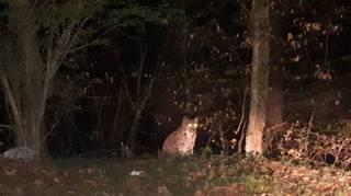 Neuchâtel: un lynx photographié au Chanet