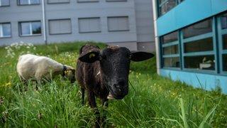 Val-de-Ruz: après les poules et les abeilles, les moutons débarquent à l'école