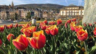 Neuchâtel: les tulipes contre la polio ont fleuri