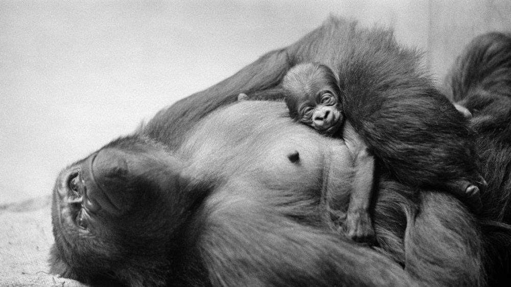Le zoo pleure Goma