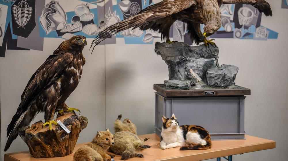 La présence au Val-de-Travers de l'aigle royal, ici deux spécimens naturalisés au Musée d'histoire naturelle de La Chaux-de-Fonds, représente un défi pour les projets éoliens, selon le biologiste Alain Lugon.