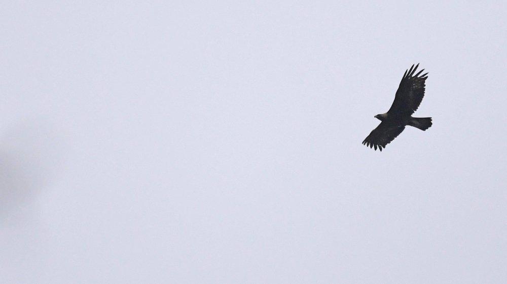 L'un des aigles nichant au Val-de-Travers, photographié le 14 mai dernier, au-dessus de son territoire.