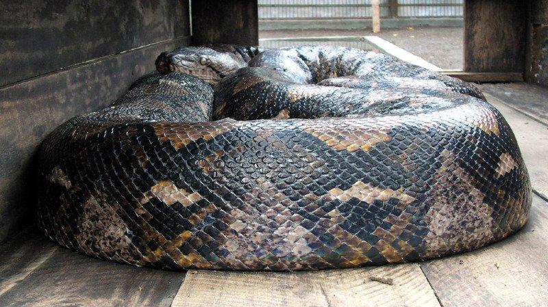 Un python dévore une femme — Indonésie