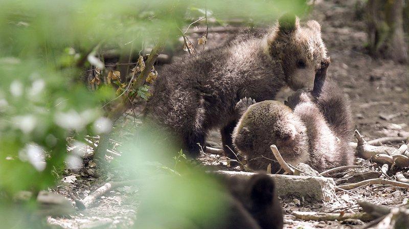 Zurich: naissance de 4 louveteaux mongols au zoo