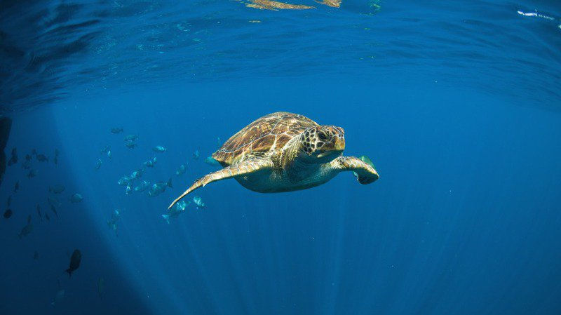 Photo d'illustration: une tortue verte nageant dans la Mer d'Andaman, près des côtes thaïlandaises