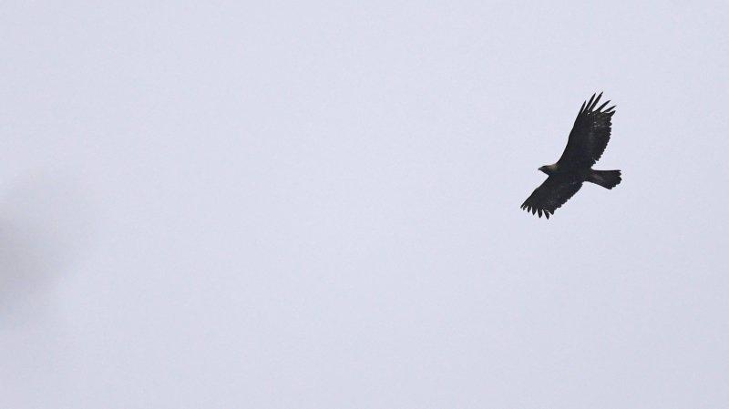 L'aigle royal revient nicher dans le canton de Neuchâtel