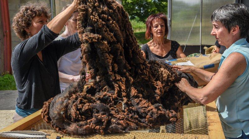 Cernier: grande récolte de laine à Evologia