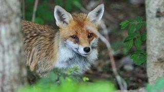 Le parasite du renard:  du jardin potager à l'humain