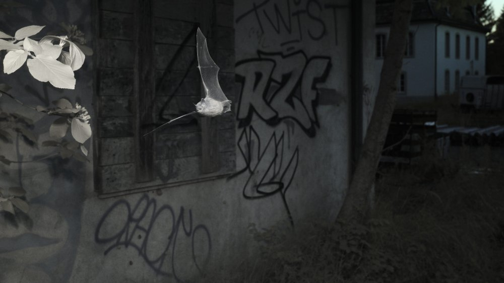 Un murin de Daubenton en plein vol devant les bâtiments des anciennes mines d'asphalte de la Presta. Pour l'immortaliser Yves Bilat a dû revenir deux soirs et déplacer ses appareils.