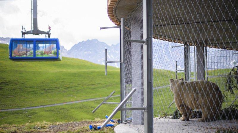 Arosa (GR): le parc aux ours accueille Napa, son premier habitant