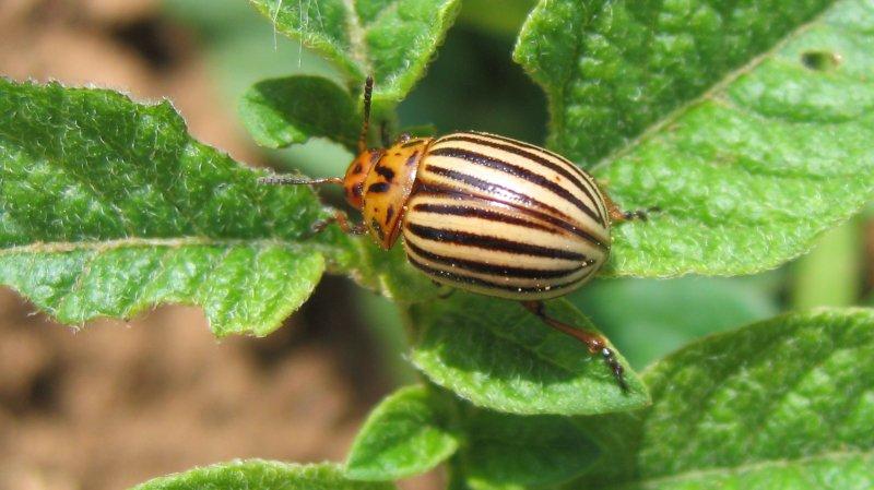Les doryphores, ces insectes qui foisonnent dans certains villages suisses