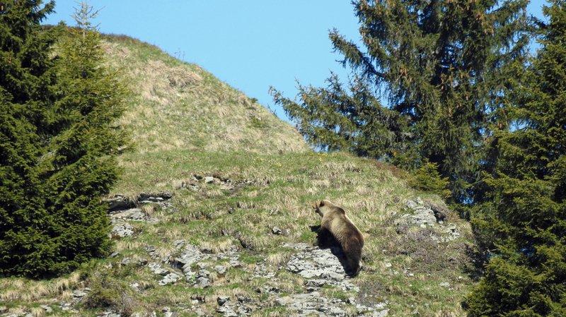Valais: des traces d'ours observées au Sanetsch, à la frontière avec le canton de Berne