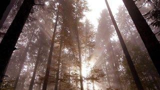 Trésor des forêts neuchâteloises, le bois d'épicéa doit être valorisé