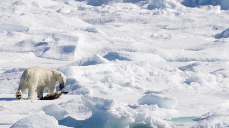 Canada: chasseur inuit victime d'une attaque d'ours polaire dans l'Arctique