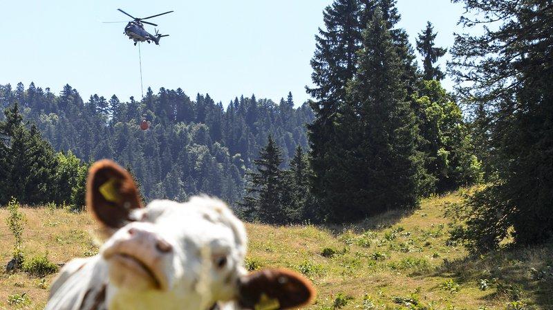 Sécheresse: le ravitaillement des vaches d'alpage par hélicoptère devrait s'étendre à la Romandie