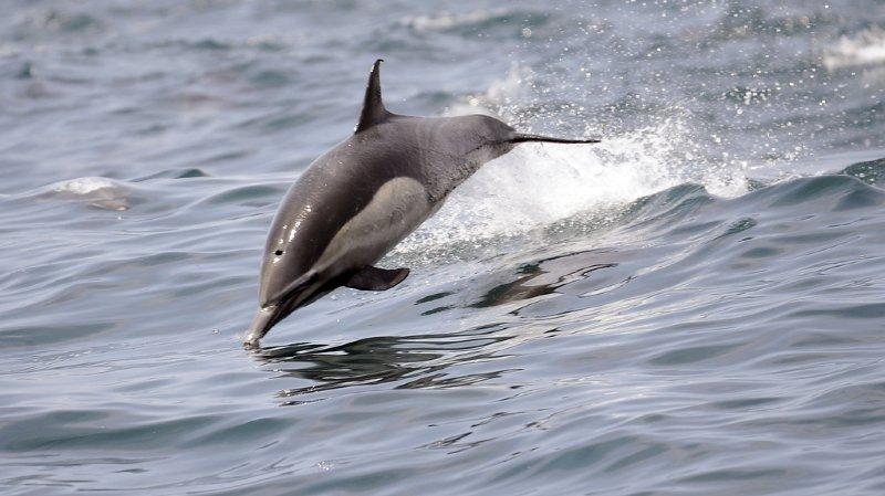 """France: un maire restreint la baignade à cause de """"Zafar"""", un dauphin en rut"""
