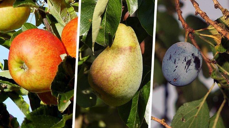 """""""Sur le Littoral neuchâtelois, la pression est terrible sur les arbres fruitiers"""""""