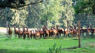 Un couple d'agriculteurs des Bois abandonne ses vaches à lait pour élever des cerfs