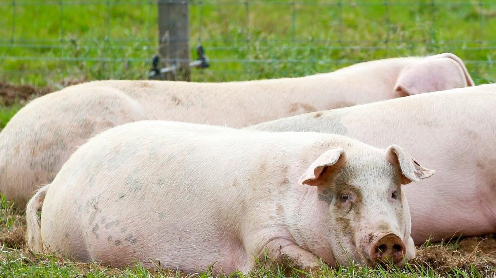 La Belgique a décidé d'ordonner l'abattage de 4000 porcs dans l'extrême sud du pays, en raison  de l'apparition d'un foyer de peste porcine africaine dans la population des sangliers