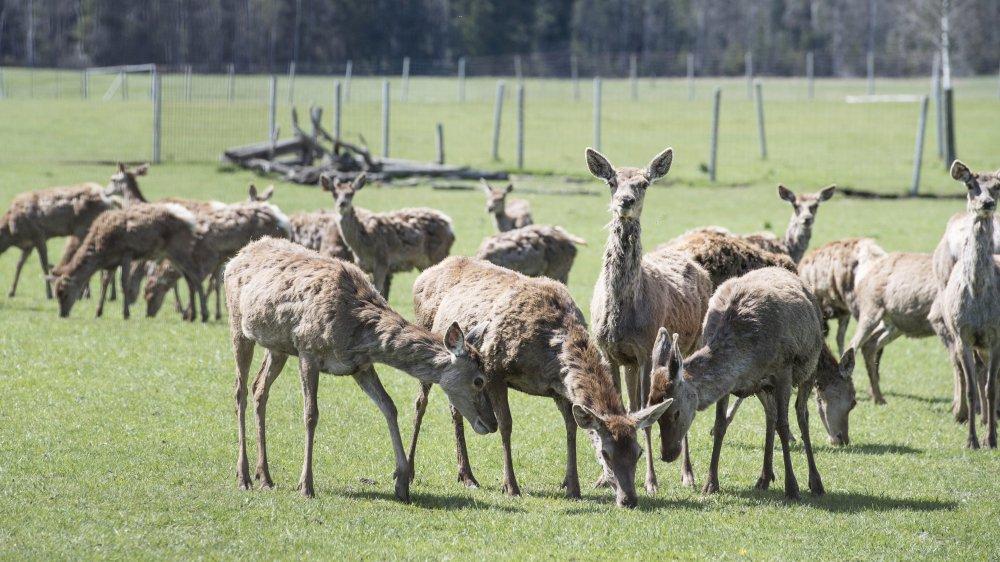Entre 100 et 150 cerfs se sont échappés après que leur parc a été vandalisé. Ils devront probablement être abattus.