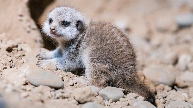 Zoo de Bâle: naissance du premier bébé suricate depuis 10 ans