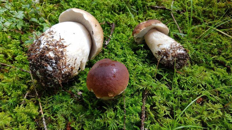 """""""Explosion"""" de champignons dans le haut du canton"""