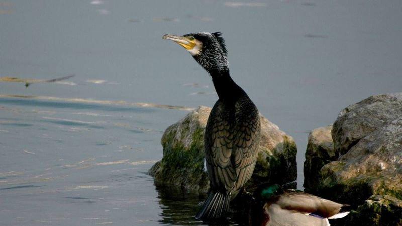 Grands cormorans, rivaux aux yeux des pêcheurs