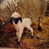 Visite à la bergerie de Tradition Julen